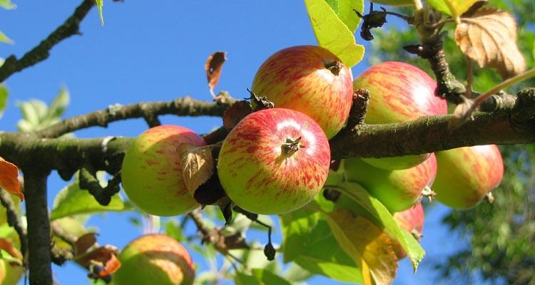 bj reece apple orchard